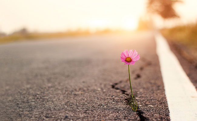 A pink flower growing out of a crack in the asphalt with a sunrise on the horizon