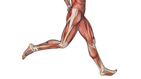 Anatomical image of legs running, showing muscles and tendons
