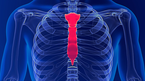 Graphic illustration of the chest and sternum